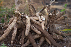Cassava plantation is easily grown Royalty Free Stock Images