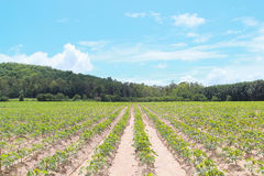 Cassava plantation Stock Photo