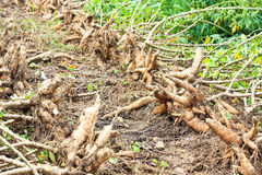 Cassava. Stock Photos