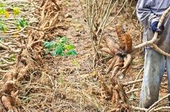 Cassava. Stock Images