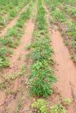 Cassava plantation. In rural farm of Thailand Stock Image