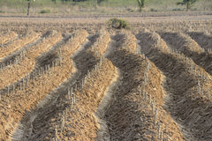 The Cassava plantation Stock Photo