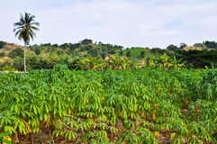 Cassava planting Royalty Free Stock Image