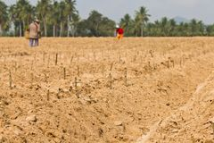 Cassava planting Stock Images