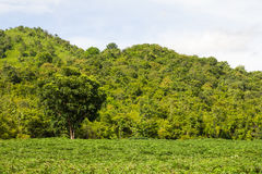 Cassava planting small hill Royalty Free Stock Photos