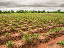 Cassava plants Royalty Free Stock Images