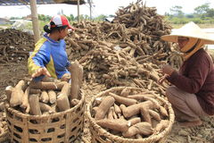 Cassava Processing. Javanese on Boyolali, Central Java, Indonesia, makes cassava or tuber to produce a flour Stock Image
