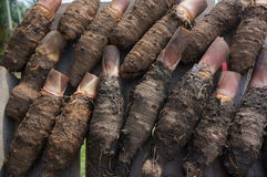 Cassava. Root at market place Royalty Free Stock Photography
