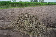 Cassava seed for new planting season. Practice for planting, Thailand Stock Photo