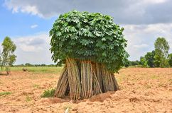 Cassava storage for planting in a farm Royalty Free Stock Images