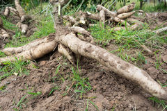 Cassava, Royalty Free Stock Images
