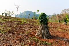 Cassava Stock Image