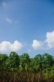 Cassava tree with blue sky Royalty Free Stock Photo