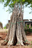The Cassava tree captured the harness Royalty Free Stock Images