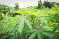 Cassava tree Stock Photography