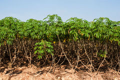 Cassava tree. And nice sky Royalty Free Stock Images