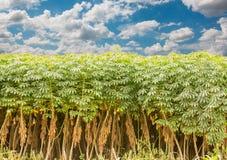 Cassava tree and sky Stock Photography