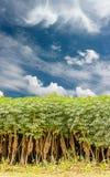 Cassava tree and sky Royalty Free Stock Photos
