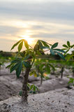 Cassava trees Stock Image
