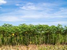 Cassava Trees Royalty Free Stock Photo