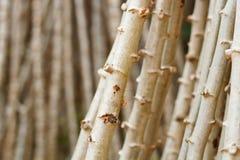 Cassava, Yuca, Mandioa, Manioc, Tapioca Stock Photography