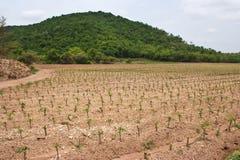 cassavafältbarn Royaltyfria Foton