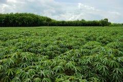 Cassavalantgård Royaltyfria Bilder