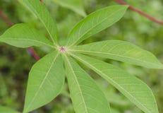 Cassave gräsplan lämnar trädet Arkivfoton