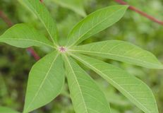 Cassave green leaves tree. Cassava tree it has a green leaves ideal for cake Stock Photos