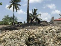Casse-croûte de chèvres sur les plages de Zanzibar Images libres de droits