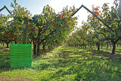 Casse dei prodotti pronte per la raccolta della frutta del cachi fotografia stock