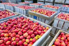 Casse di legno in pieno delle mele mature durante il periodo di raccolta annuale fotografie stock libere da diritti