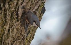 Casse-noix sur un arbre Photos libres de droits