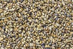 cassia σπόροι στοκ φωτογραφία με δικαίωμα ελεύθερης χρήσης