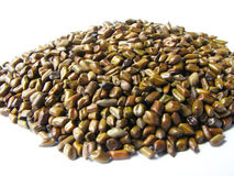 Cassia σπόροι Στοκ εικόνα με δικαίωμα ελεύθερης χρήσης