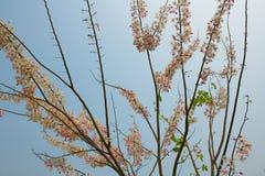 Cassia Bakeriana-blauwe hemel als achtergrond Royalty-vrije Stock Fotografie
