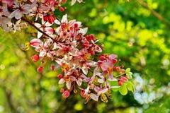 Cassia Bakeriana Craib rosa Fotografia Stock Libera da Diritti