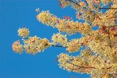 Cassia bakeriana Craib in sunnyday. Royalty Free Stock Photography