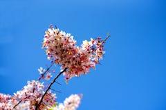 Cassia bakeriana flowers tree. With heart shaped on blue sky background royalty free stock photo