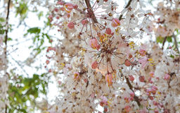Cassia bakeriana, spring blossom with the pink flower like sakura Royalty Free Stock Photography