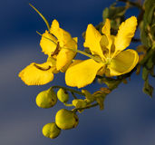 Cassia blooms. From Malawi  with blue sky background Royalty Free Stock Photos