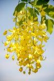 Cassia di fioritura Immagini Stock Libere da Diritti