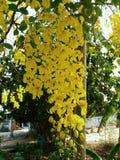 Cassia Fistula Royalty-vrije Stock Foto