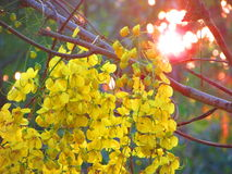 Cassia Fistula Photo stock