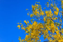 Cassia Fistula in clear blue sky Royalty Free Stock Photography