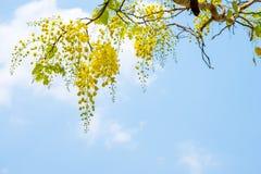 Cassia fistula dorato della doccia sul fondo del cielo blu fotografia stock
