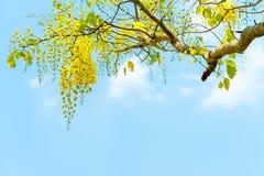 Cassia fistula dorato della doccia sul fondo del cielo blu immagine stock libera da diritti