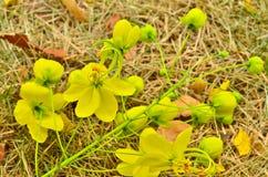 Cassia fistula Royalty Free Stock Photo