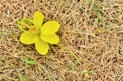 Cassia fistula Royalty Free Stock Photos
