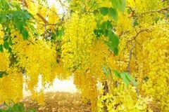 Cassia Fistula, fiore del re della Tailandia Fotografia Stock